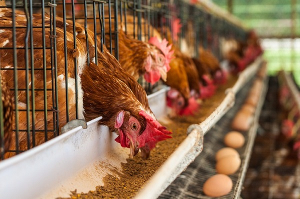 Poultry Feed Suppliers