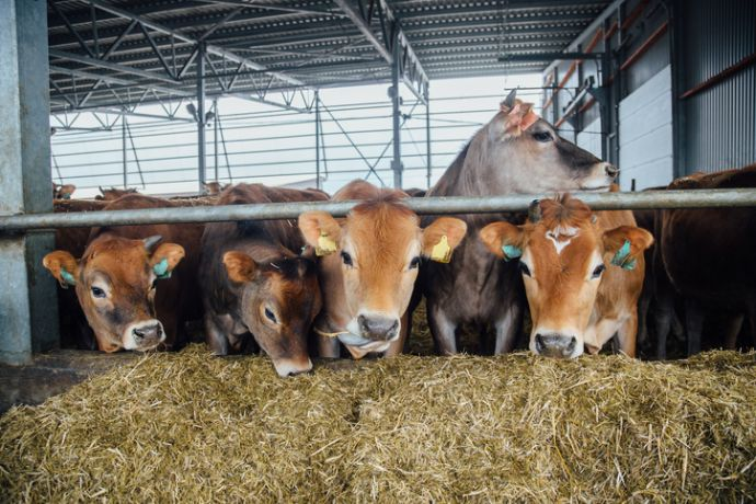 Energy nutrition for cattle